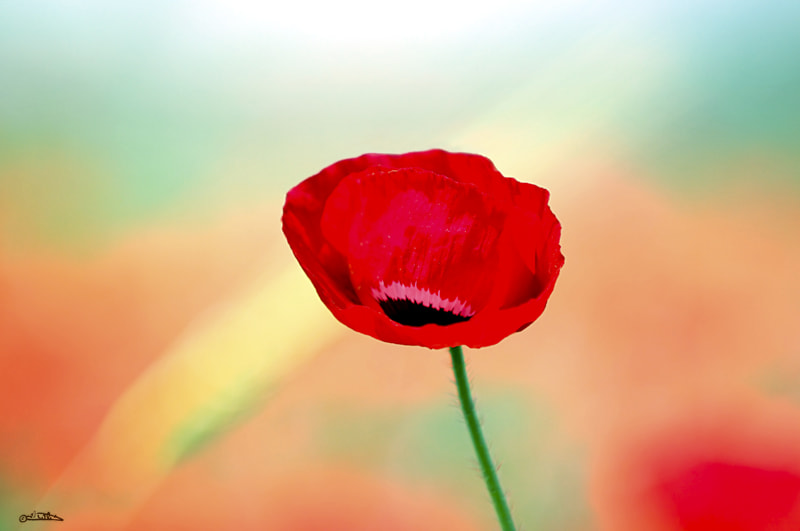 Photograph Poppy by Israel Weiss on 500px