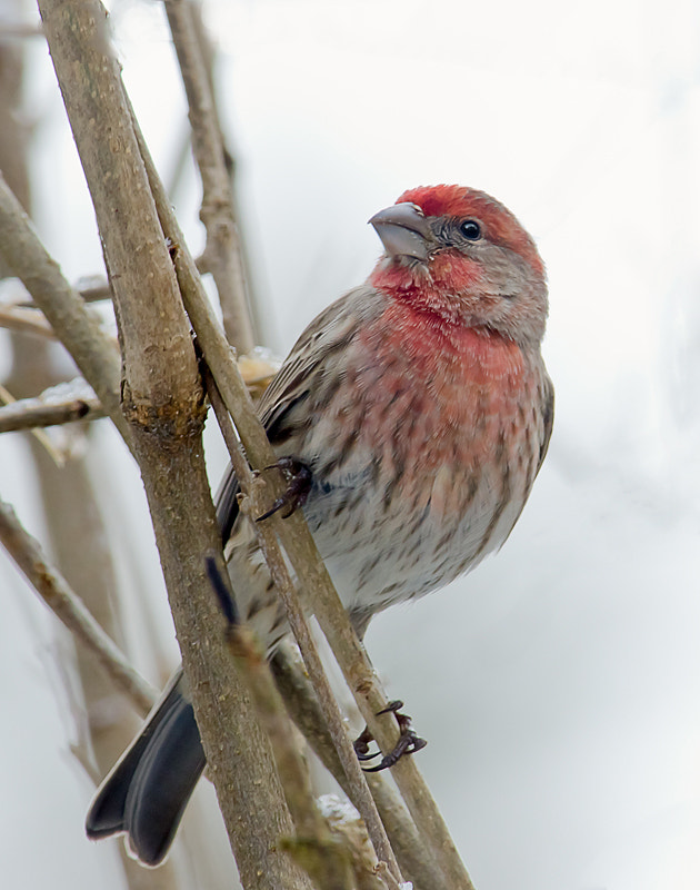 Photograph House Finch by Ernesto Franklin on 500px