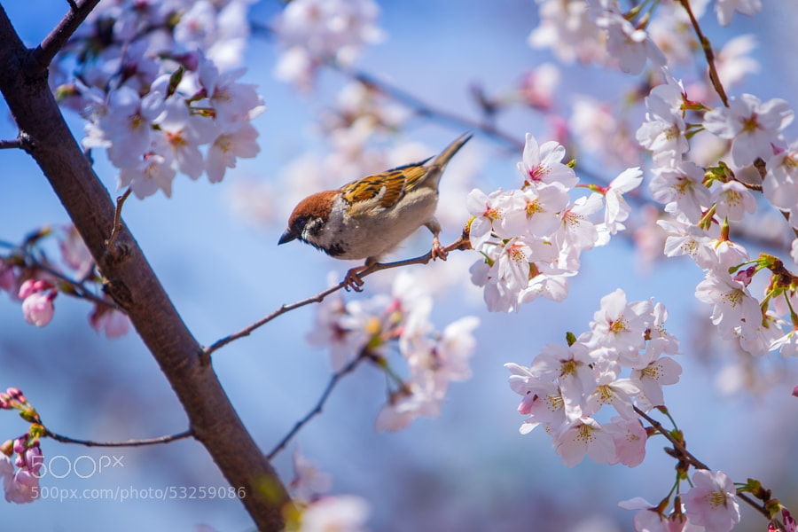 Photograph sparrow and sakura by woody L. chu on 500px