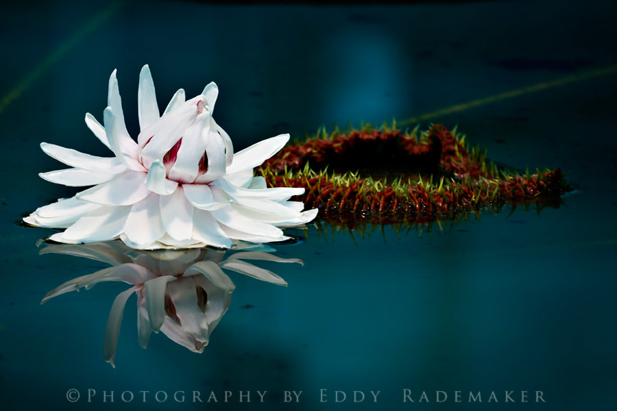 Photograph Amazon WaterLily by Eddy Rademaker on 500px