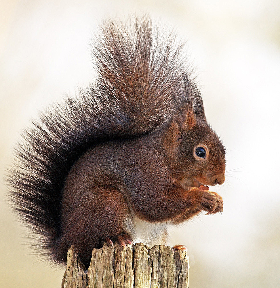 Photograph Squirrel by Urs Bachmann on 500px