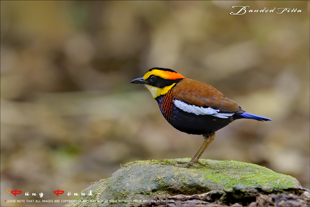 Photograph Banded Pitta by Wiriya Sakulthai on 500px