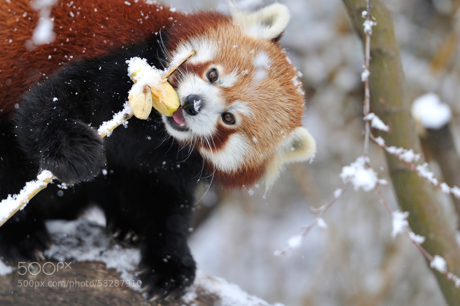 Photograph Red Panda Snow Apple by Josef Gelernter on 500px