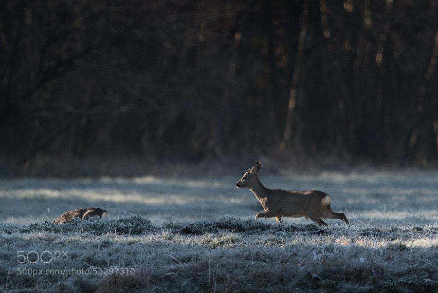 Rehe im Teufelsmoor | Deers in Teufelsmoor (2)