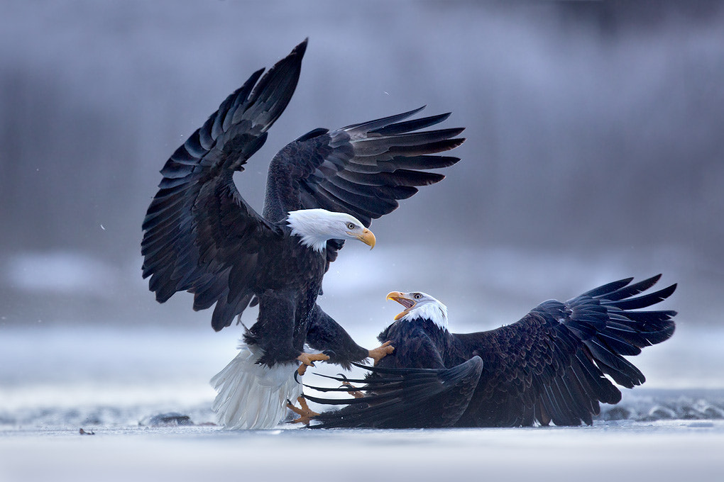 Photograph Eagle Fight by Matthew Studebaker on 500px