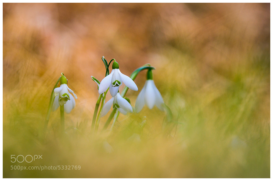 Photograph Harbingers of Spring by Simon Benedičič on 500px