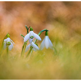Harbingers of Spring by Simon Benedičič (simonbenedicic) on 500px.com