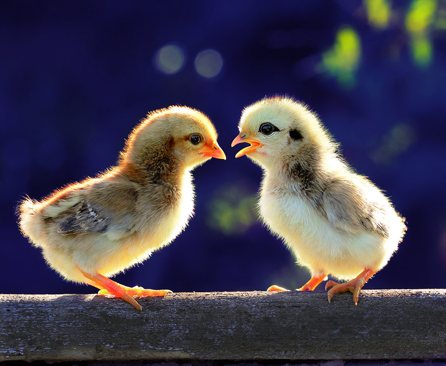 Photograph chicks .....chat by Prachit Punyapor on 500px