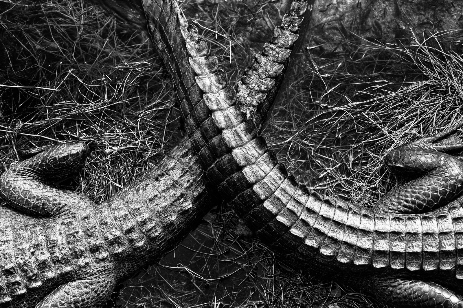 Photograph Gator tails by Thierry Hennet on 500px