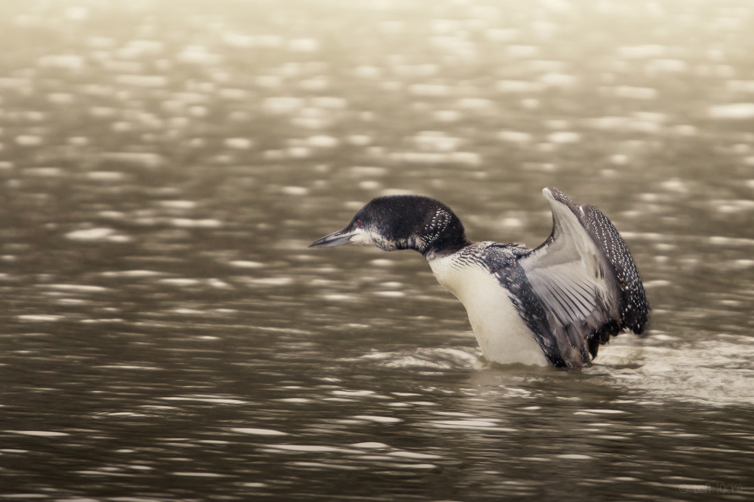 Photograph Great Northern Diver by Ben Locke on 500px