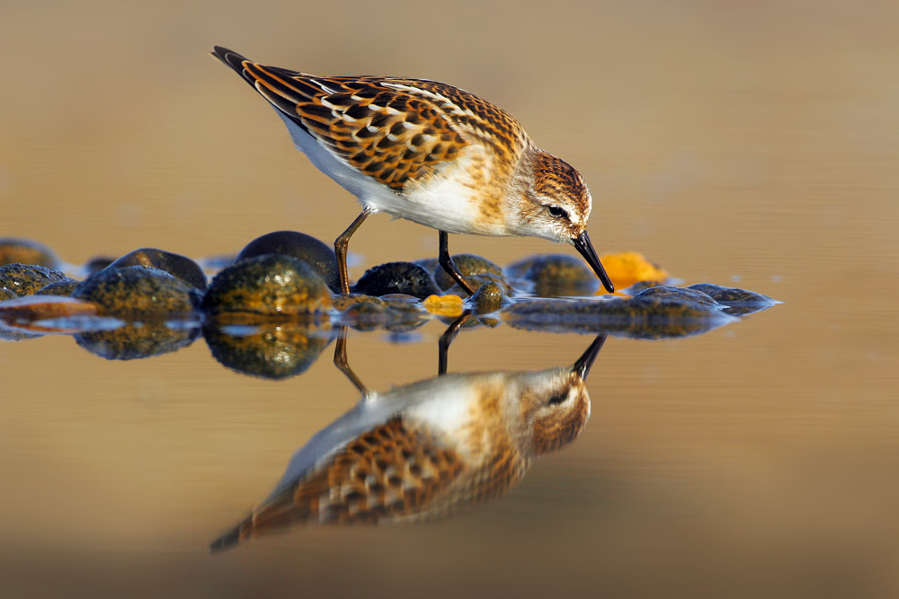 Photograph Little Stint by Nigel  Pye on 500px