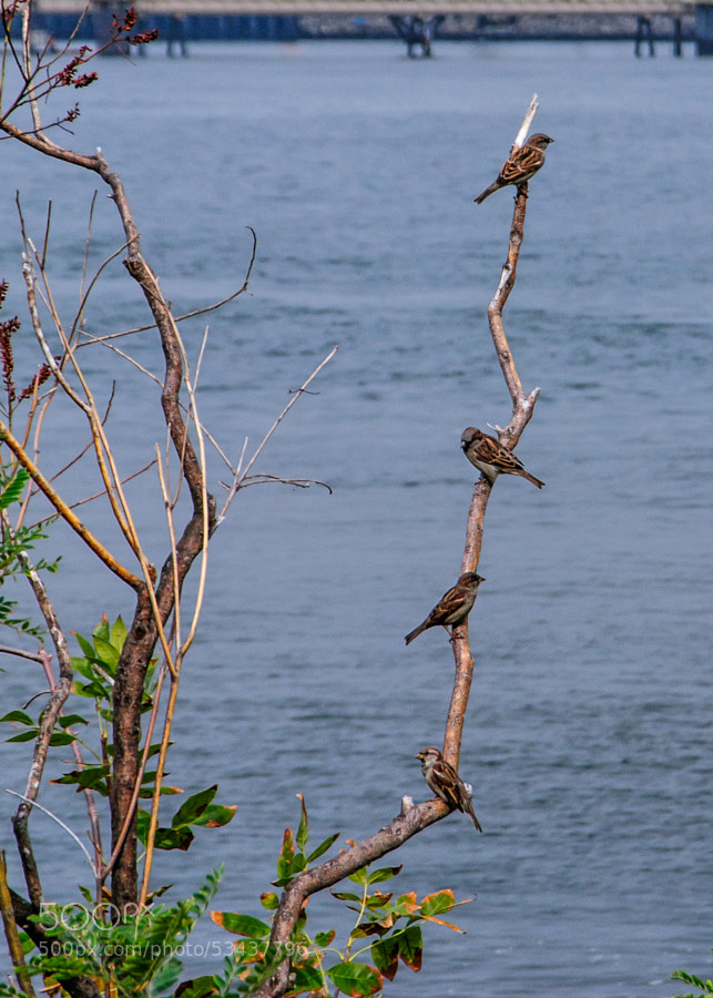 Walking along the Kill Van Kull I noticed these birds slowly moving from one branch to the next until they finally decided to rest upon this branch.  I thought it interesting how each faced the opposite way as they were on the branch, as if to look out for each other.
