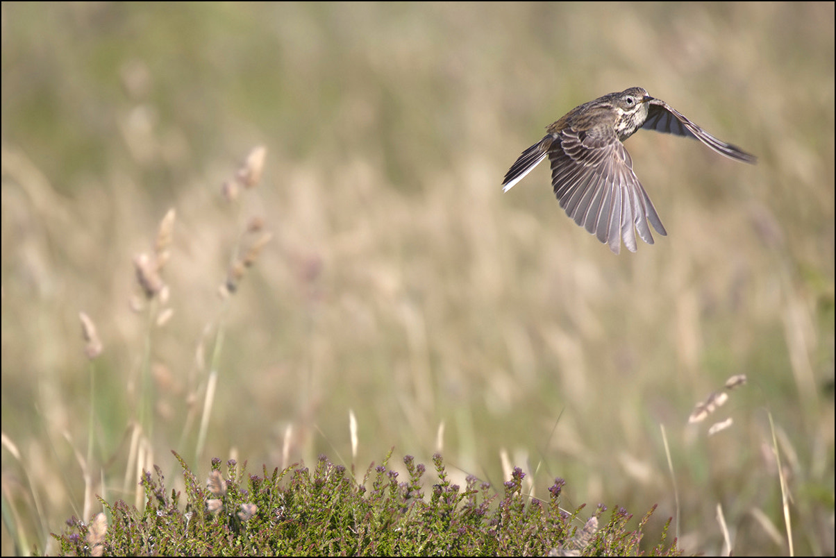 Photograph Meadow Pipit by Ben Locke on 500px