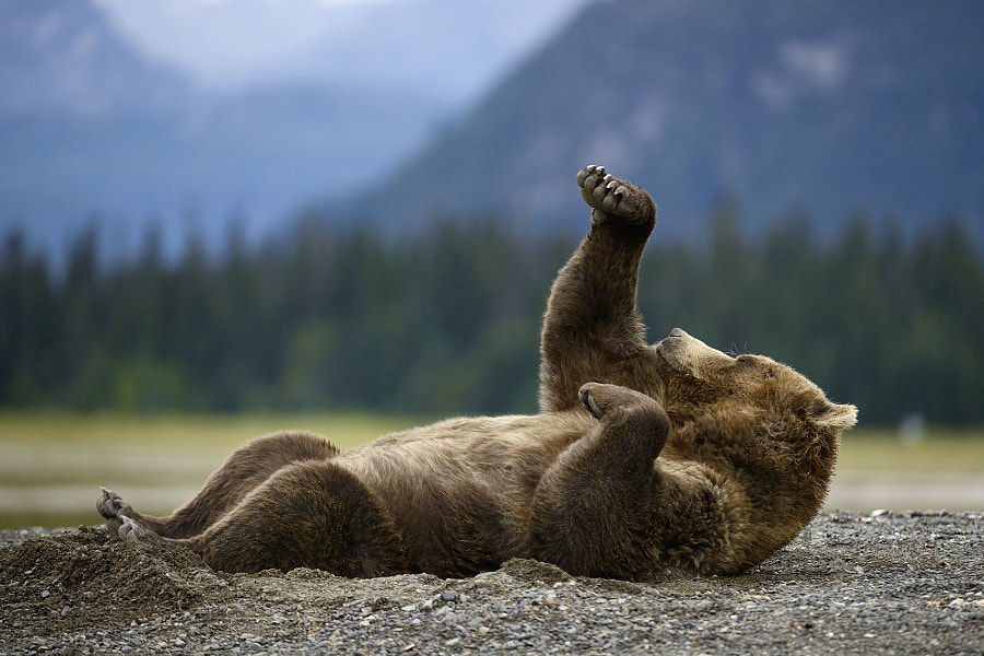 Boxing Bear by Olav  Thokle on 500px.com