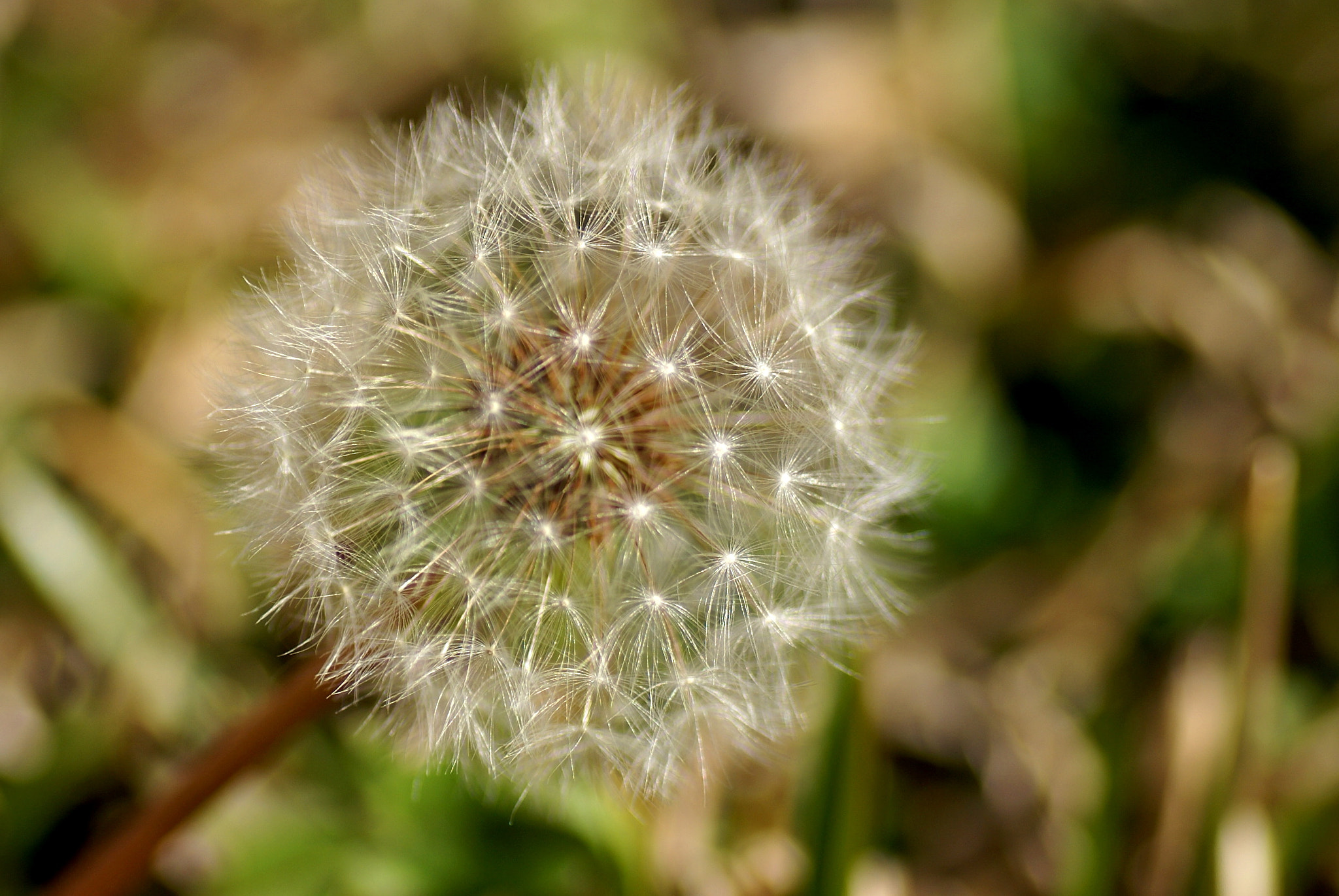 Photograph Dandelion  by Don Bishop on 500px