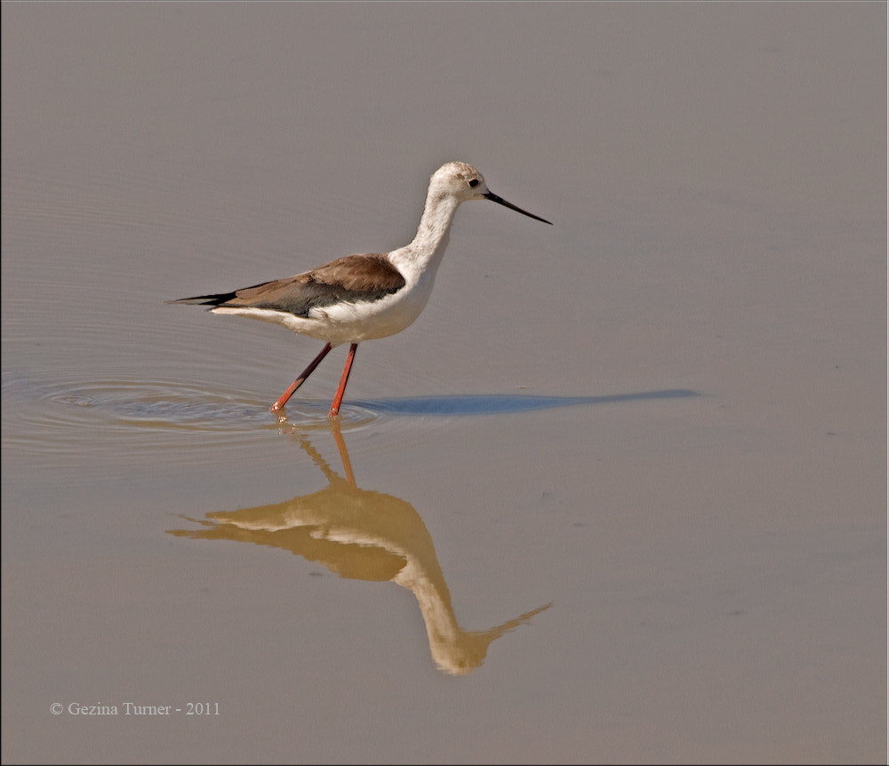 Photograph Black winged Stilt + reflection by Ina Turner on 500px