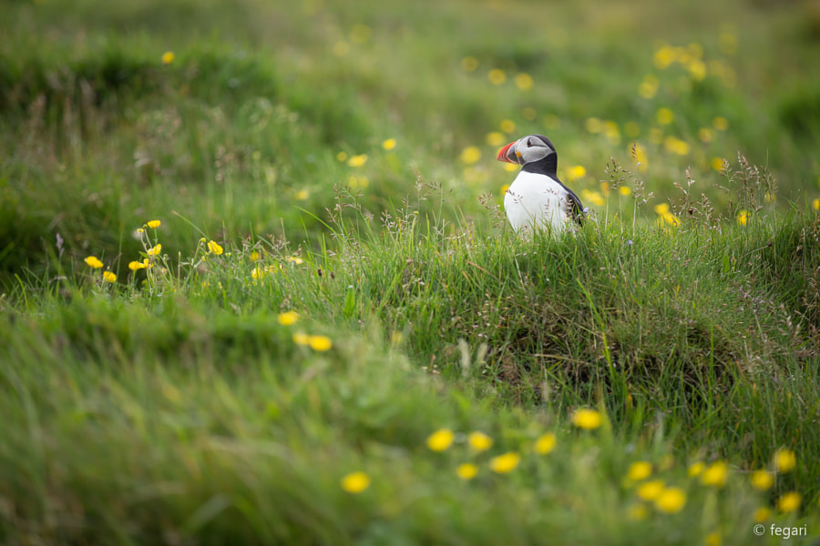Vestmannaeyjar Puffin by fegari . on 500px.com