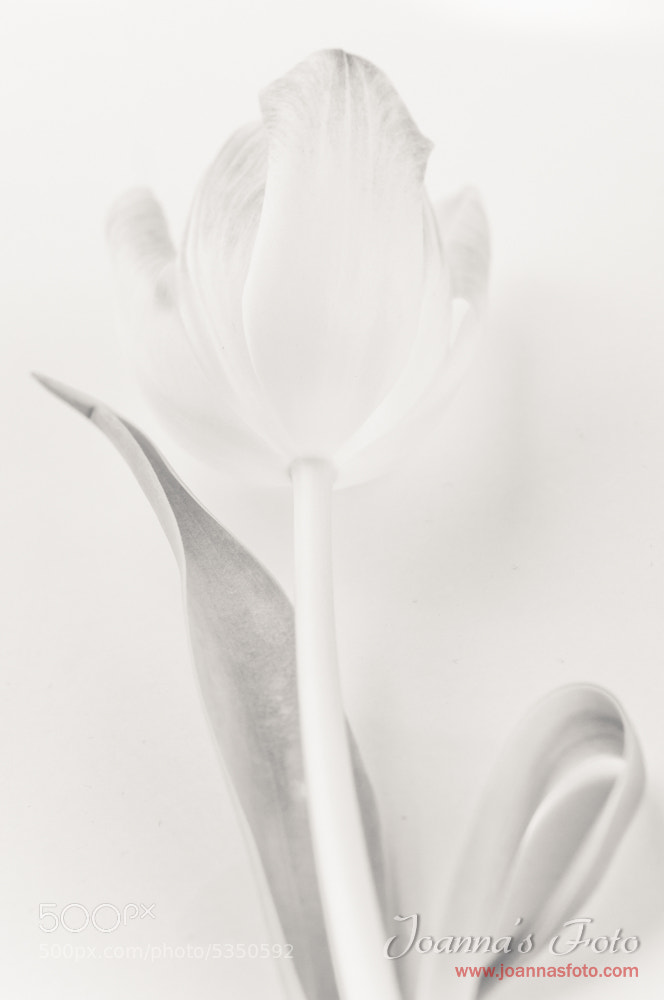 Photograph extreme softness - black & white tulips by Joanna Kapica on 500px