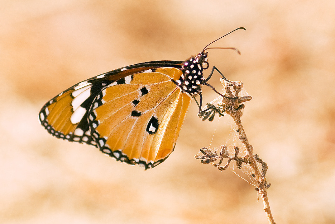 Photograph Butterfly by Waleed Al Abbas on 500px