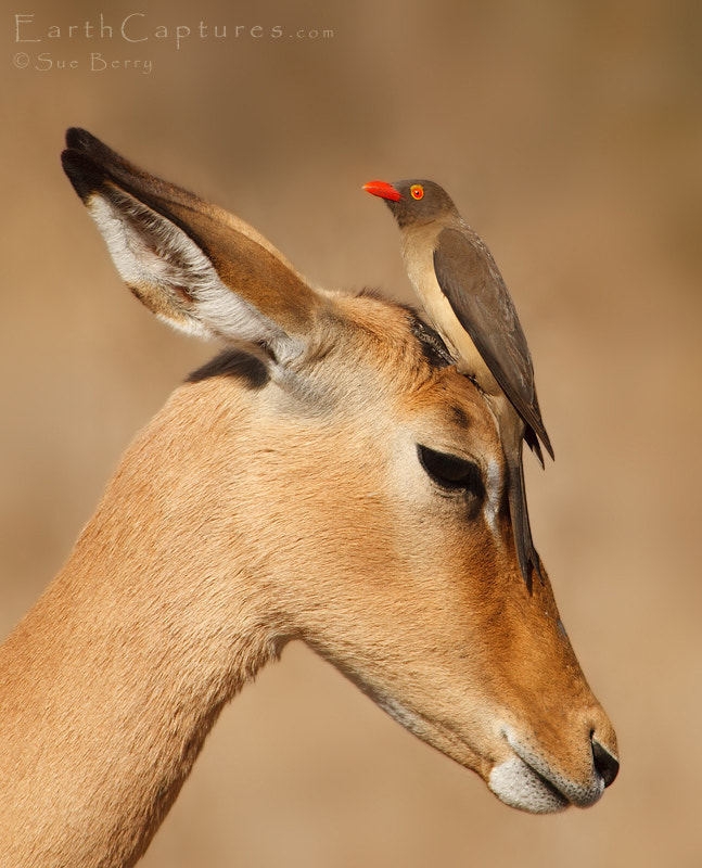 Photograph Oxpecker and friend by Sue Berry on 500px