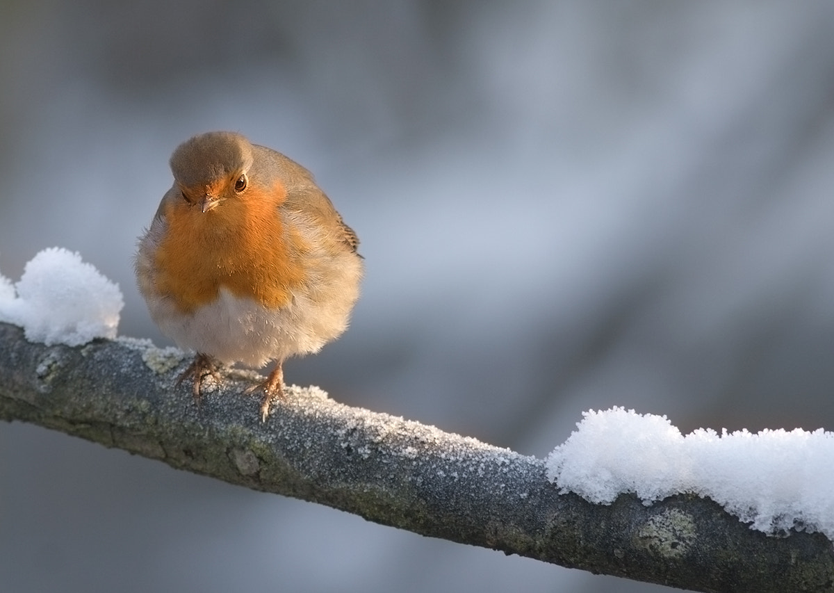 Photograph Robin in the snow by Vittorio Brambilla on 500px