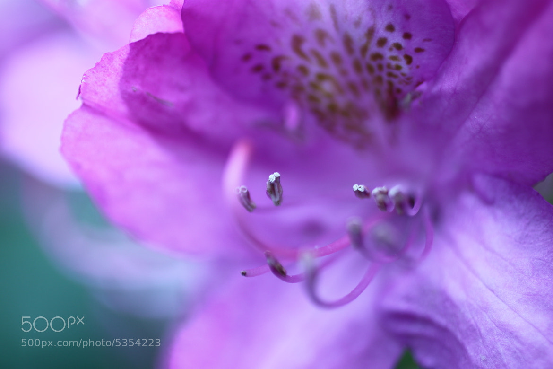 Photograph Purpleish Pinkish Flower by Bryan Kolb on 500px