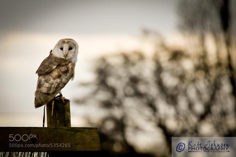 Photograph Barn Owl by Kate Johnson on 500px