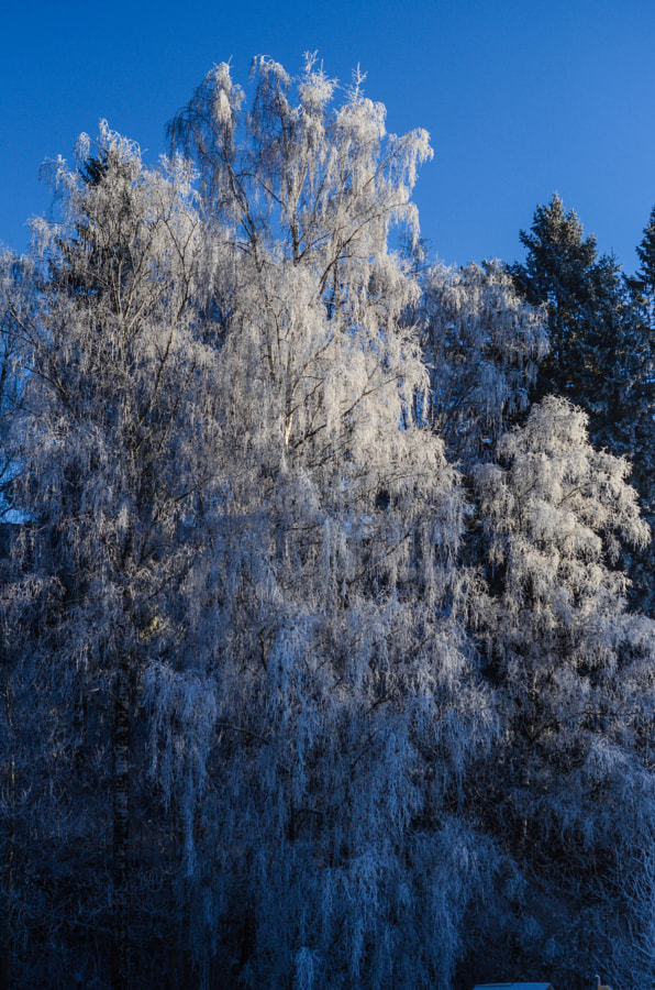 Frozen trees in Oslo, Norway. This winter's first hard frost.