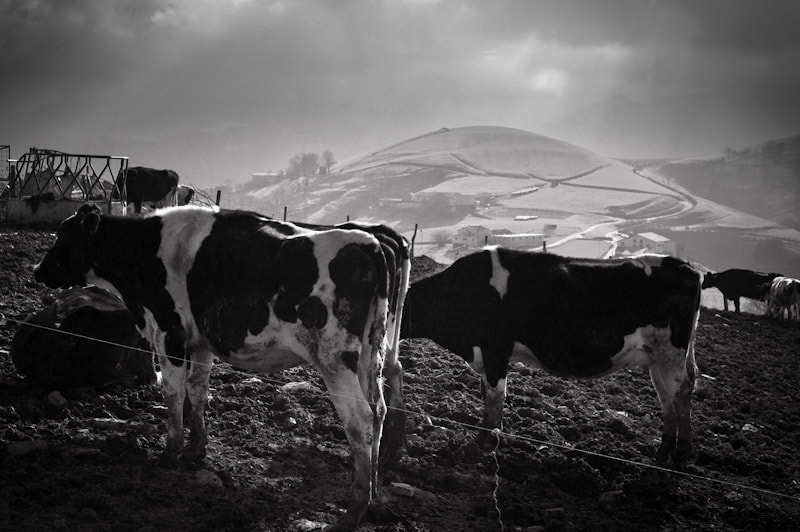 Photograph Cows by Josep Girona on 500px
