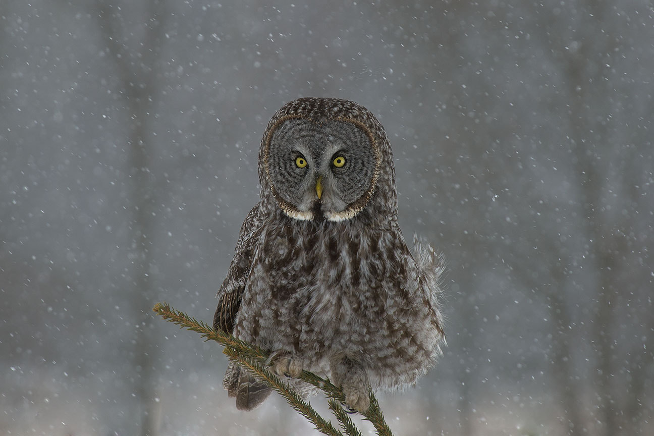 Photograph Great Gray Eyes by Nick Kalathas - Nature's Moments on 500px