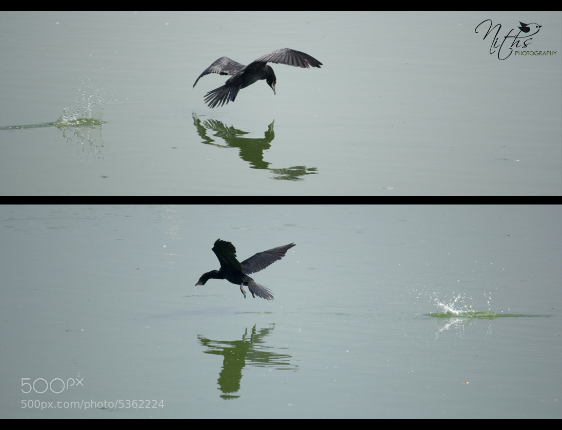 Photograph Little Cormorant Splash by Nithya Radhakrishnan on 500px