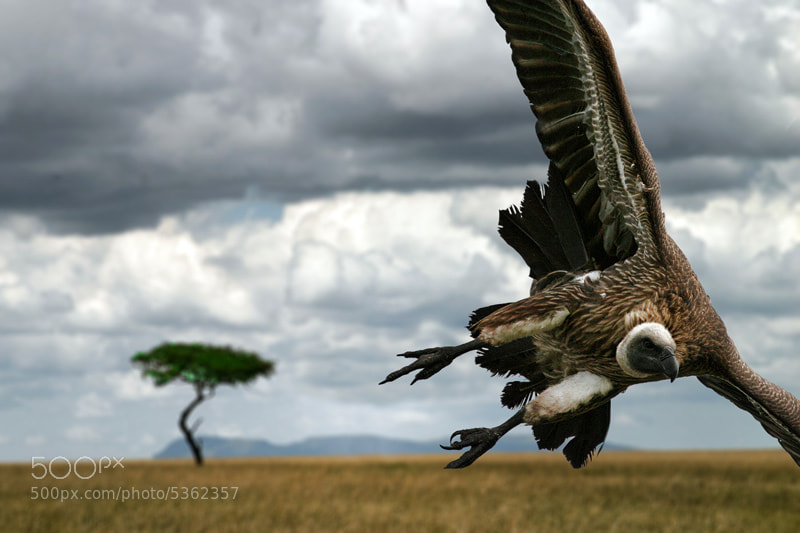 Photograph Vulture by Dmitri  Markine on 500px