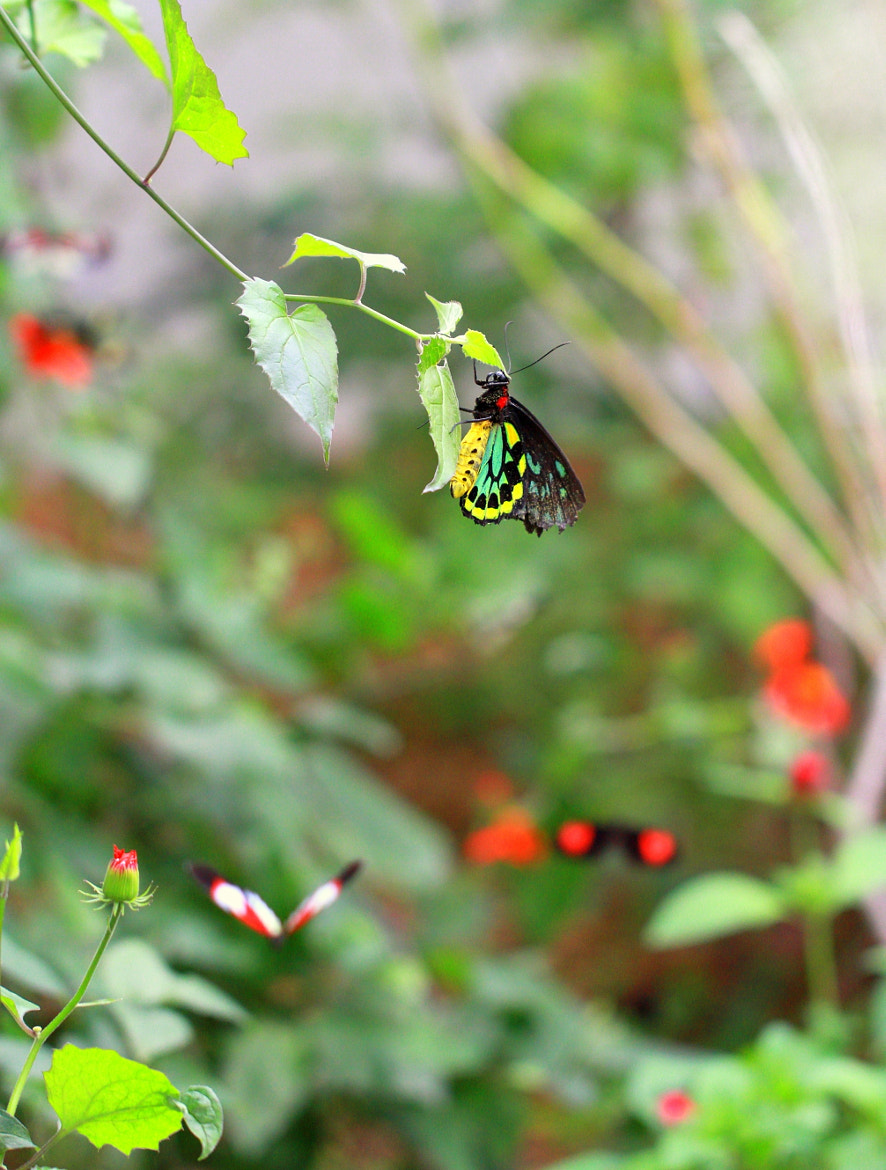 Photograph Lepidoptera x 3 by Qbradley Witover on 500px