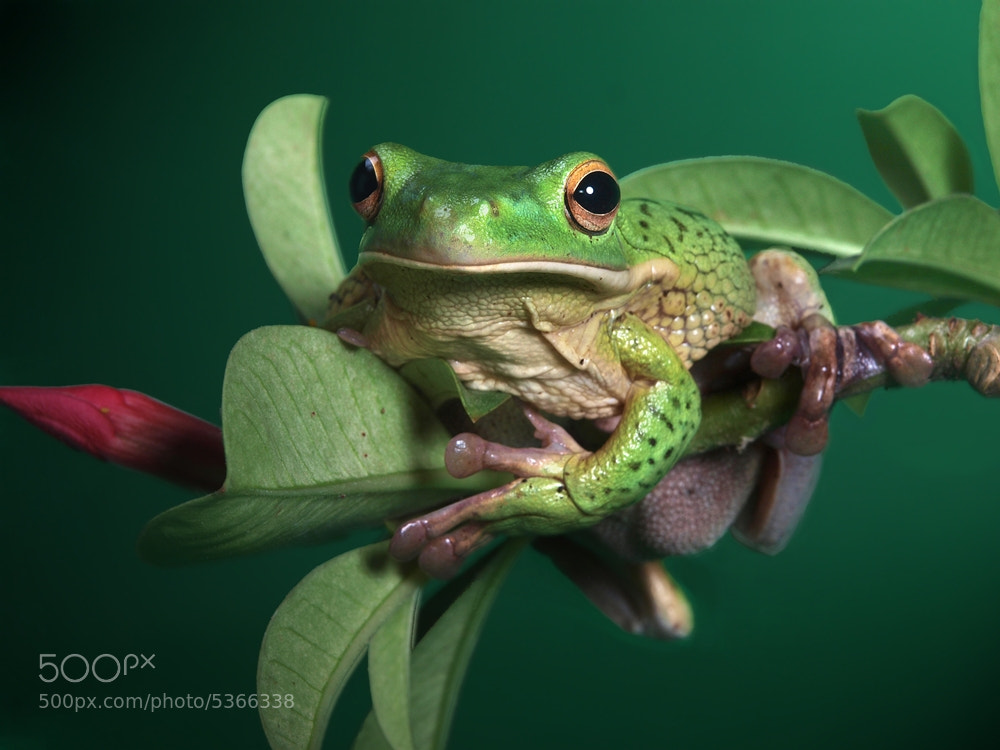 Photograph white lipped tree frog  (waiting to be kissed) by Irawan Subingar on 500px