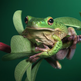 white lipped tree frog  (waiting to be kissed) by Irawan Subingar (Irawan-Subingar)) on 500px.com