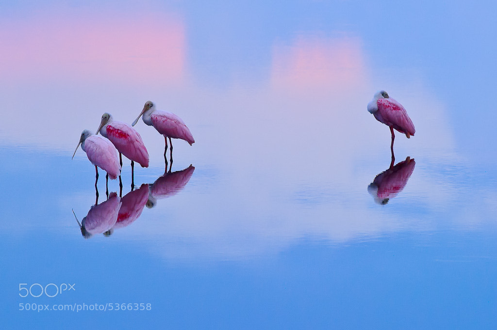 Photograph Roseate Spoonbills Reflection by Nasim Mansurov on 500px