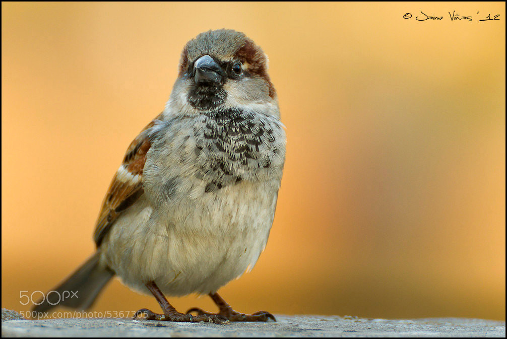 Photograph A sparrow... by Jaime Viñas on 500px