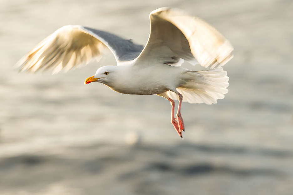 Photograph Gull! by Rasmus Hald on 500px