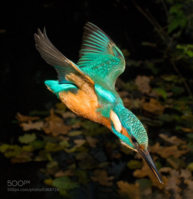 Photograph Kingfisher Dive by Tony Flashman on 500px