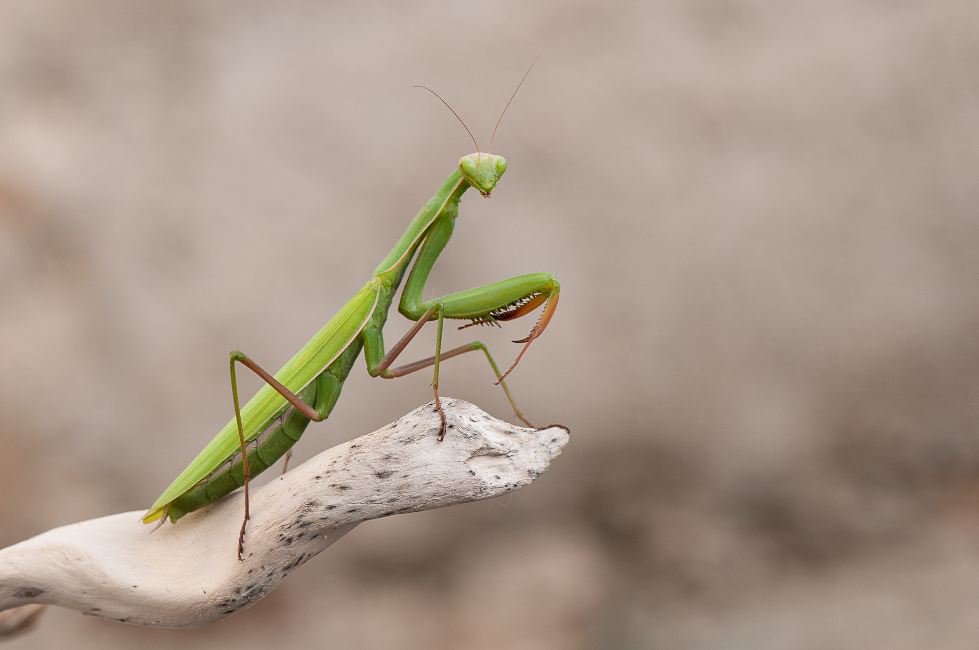 Photograph Praying Mantis by Ineke Nientied on 500px