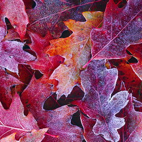 Frosted Red Oak Leaves by Tony Beck (TonyBeck)) on 500px.com
