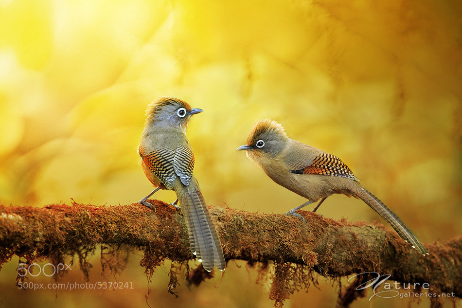 Photograph Spectacled Barwing by Sasi - smit on 500px