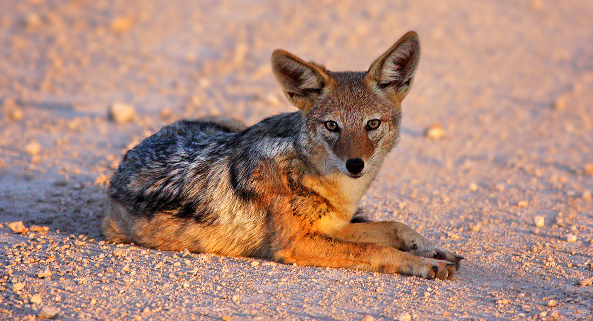 Photograph The dawn of the Jackal by Mattia Generali on 500px