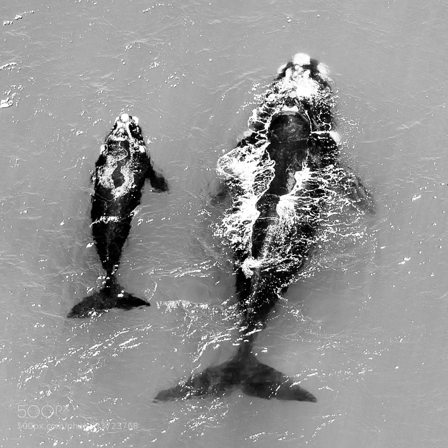 a mother with her calf seen in Walker Bay, close to famous Hermanus. Weather was a bit rough that day, so i chose this one in B&W to bring out the whales silhouettes a bit more.  Great flying with Evan and African Wings anyway!