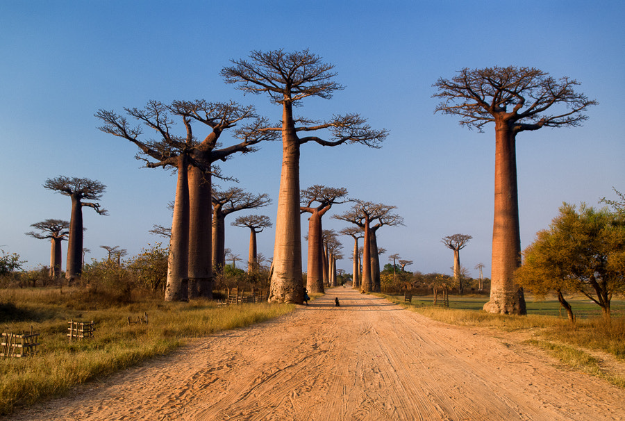 Baobab street by Alain Delcorde on 500px.com