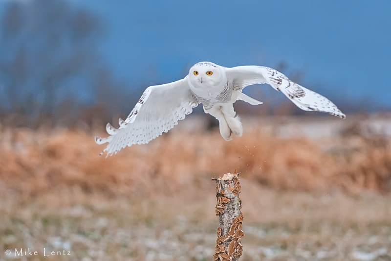 Photograph Snowy owl taking off by Mike  Lentz on 500px