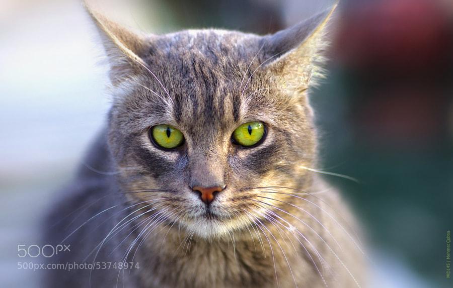 "Green eye Cat by Mehmet Çoban on 500px.com"" border=""0"" style=""margin: 0 0 5px 0;"