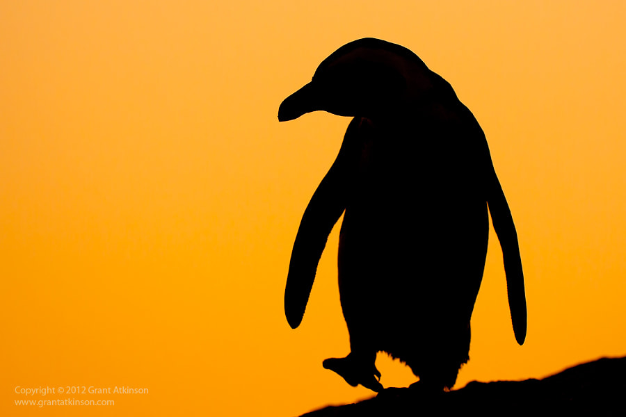 Photograph African penguin at sunrise by Grant Atkinson on 500px