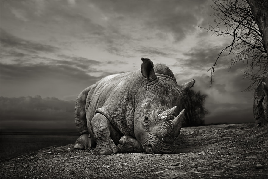 White Rhino by Thomas Marasco on 500px.com