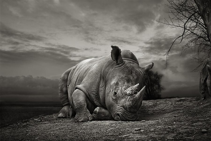 White rhino by thomas marasco on 500px